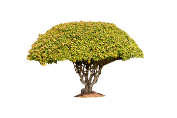 Bonsai in the question that is separated from the white background