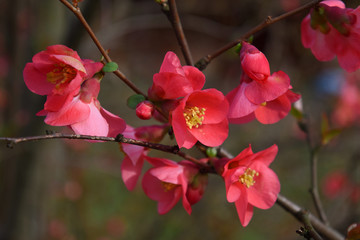 red spitfire flowering quince flowers on a branch