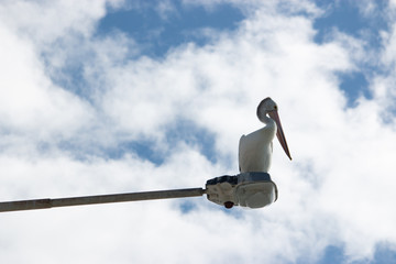 Australian pelican have rest on the street light pole lamp