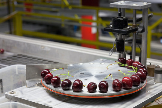 Fresh red ripe cherries on a turntable pressure tester at a packing warehouse