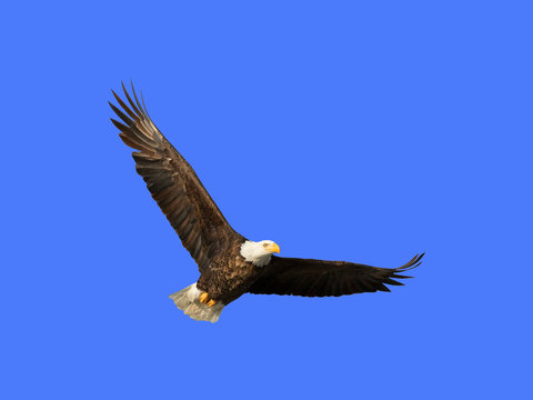 Bald eagle in flight (clipping path included) in blue sky over Des Moines River