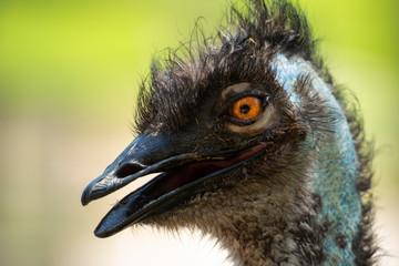 Australian Emu outdoors