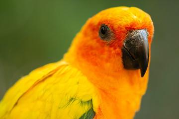Close up of a Sun Conure parrot