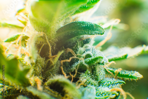 Green background of flower  Medicinal indica with CBD  Young