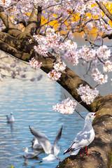 Close-up Black-headed gull birds (Chroicocephalus ridibundus) and sakura cherry blossoms full bloom in springtime sunny day with natural background around Ueno park lake at Tokyo, Japan.