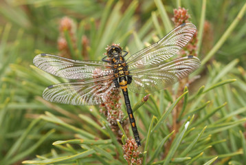 A newly emerged rare White-faced Darter Dragonfly (Leucorrhinia dubia) perched on a scotch pine.