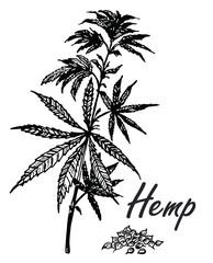 Vector botanical hand drawn illustration of hemp branch. Engraved cannabis foliage. Sketch style
