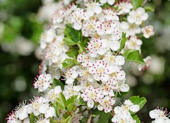 Weißdorn, Crataegus, Blüten im Frühling