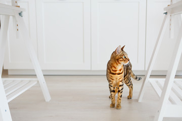 Portrait of the beautiful bengal cat