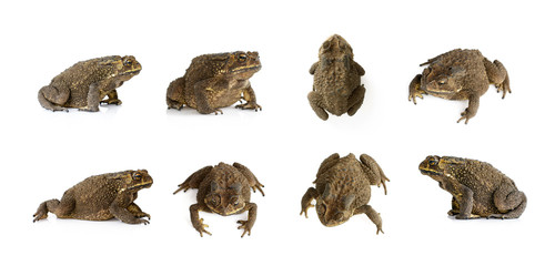 Foto auf AluDibond Frosch Group of toad(Bufonidae) isolated on a white background. Amphibian. Animal.