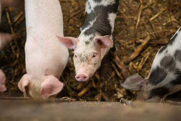 Small pigs in the farm. Fattening pigs.