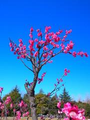 咲き始めた公園の紅梅と青空