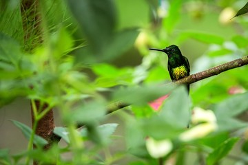 Empress brilliant sitting on branch, hummingbird from tropical forest,Ecuador,bird perching,tiny beautiful bird resting on flower in garden,clear background,nature scene,wildlife, exotic adventure