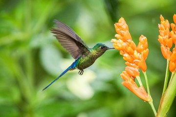 Violet-tailed sylph hovering next to orange flower,tropical forest, Ecuador, bird sucking nectar from blossom in garden,beautiful hummingbird with outstretched wings,nature wildlife scene Fotoväggar
