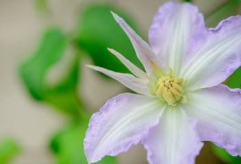 Beautiful large purple clematis flower in the garden