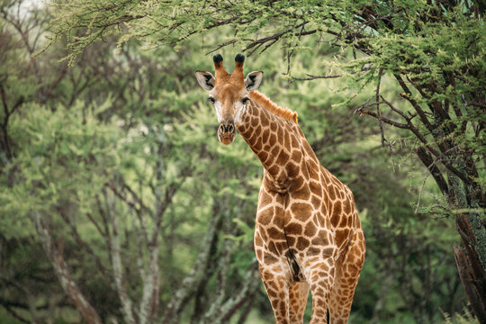 Close up image of a giraffe bending its neck looking at the camera under a tree in a national park in South Africa