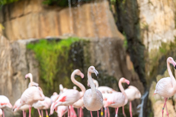 Group of pink flamingos, Phoenicopterus roseus, walking.