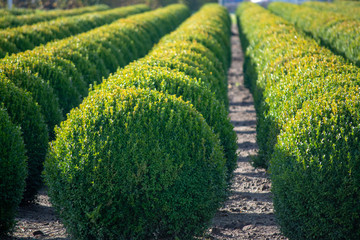 Evergreen buxus or box wood nursery in Netherlands, plantation of big round box tree balls in rows during invasion of box wood moth in Europe Wall mural