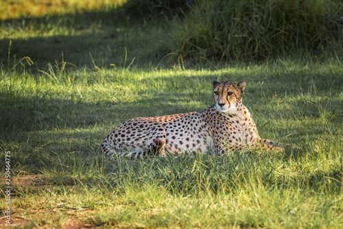 Cheetah In A Green Grass South Africa Stock Photo And
