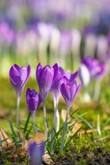 Blühender Krokus auf grünen Wiese. Krokus im Frühling. Frühlingserwachen.