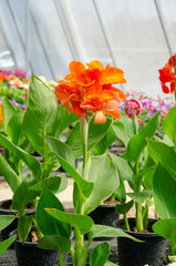 canna generalis or canna lily in flower pot