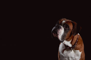 A red boxer dog looking up waiting for treats looks curious on dark background with free mock space