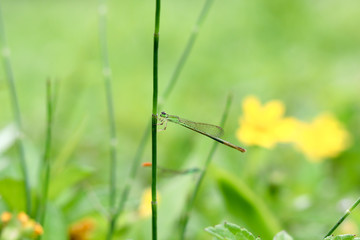 damsekfly on  the grass