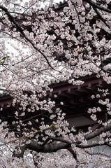 桜の花と瓦屋根