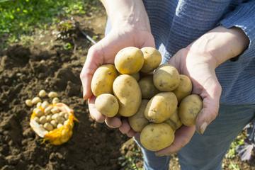 patate da piantare tra le mani di una contadina