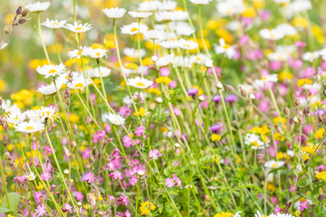 London, UK St James Park green grass weeds with white daisy and purple flowers in summer floral closeup pattern of bloom