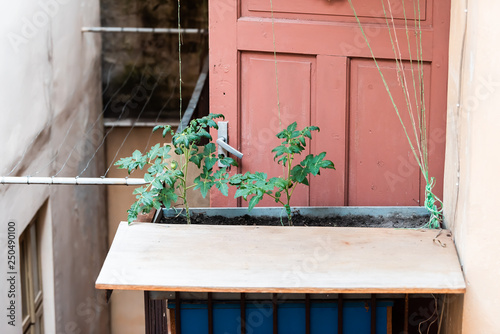 Green Tomatoes Hanging Growing On Plant Vine In Garden By Soil Dirt Planter With Leaves Tied