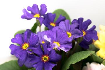A violet plant