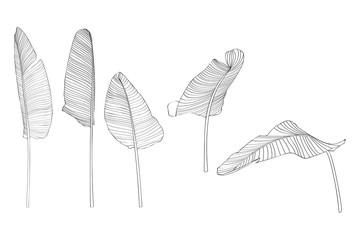 Banana leaves illustration. Set of line hand drown leaves. Leaf skeleton.