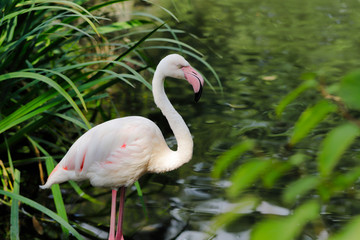 Rosy colored flamingo waterbird wading in the river