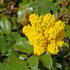 Blühende Mahonie, Mahonia aquifolium