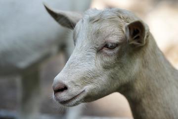 Portrait of beige goat kid on the farm