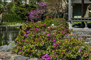 Beautiful flowering Japanese garden with pink sakura and shrubs. Japanese courtyard with a pagoda and stone paths in the middle of a green meadow.