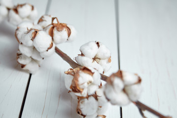 Natural cotton flowers is lying on a white wooden table