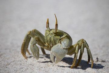 Close-up of green crab walking on sand at beach