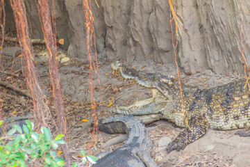 Wild crocodile laying eggs in the straw nest. Alligator is spawning eggs in the straw nest.