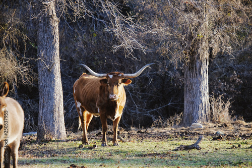 Wall mural Texas Longhorn cow on farm looking at camera during winter.