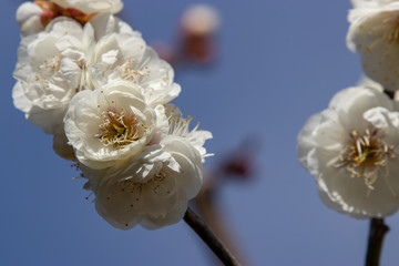 White Plum of plum garden at AobanoMori Park, Chiba prefecture, Chiba city, Japan