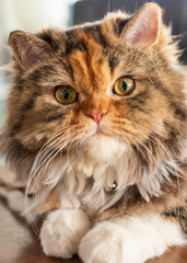lovely persian cat sitting on black sofa