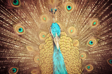 Male Indian peafowl or blue peafowl (Pavo cristatus), a large and brightly colored bird, is a species of peafowl native to South Asia. Peacock showing beautiful plumage and spreading tail-feathers.