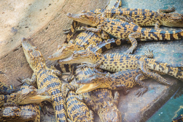 Group of young crocodiles are basking in the concrete pond. Crocodile farming for breeding and raising of crocodilians in order to produce crocodile and alligator meat, leather, and other goods.