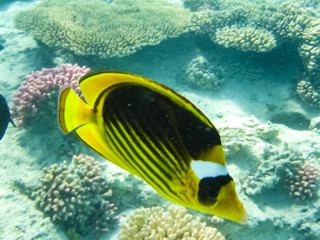 fish swim above the coral reef, the underwater world of the Red Sea.