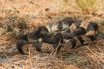Northern pine snake - PItuophis melanoleucus