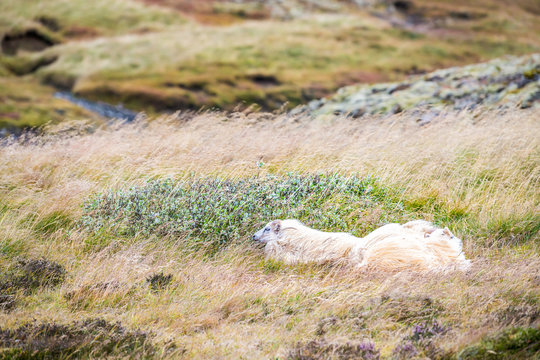Three white Icelandic sheep family lying down on dry grass pasture at farm field in Iceland with blowing wind on Golden Circle near Thingvellir