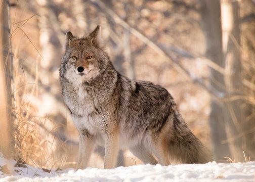 Coyote Posing