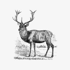 Red deer shade drawing